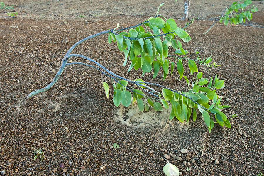 Маленькое дерево подметает вулканическую пемзу. Остров Вознесения, Атлантический океан. A small tree on a volcanic soil, Ascension island, South Atlantic