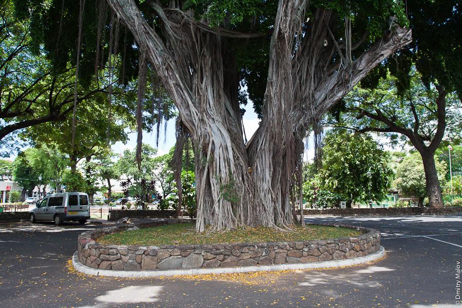 Papeete streets, Tahiti, French Polynesia. Улицы города Папеэте, Таити, Французская Полинезия. Huge banyan tree and a car parking. Гигантский баньян и парковка.