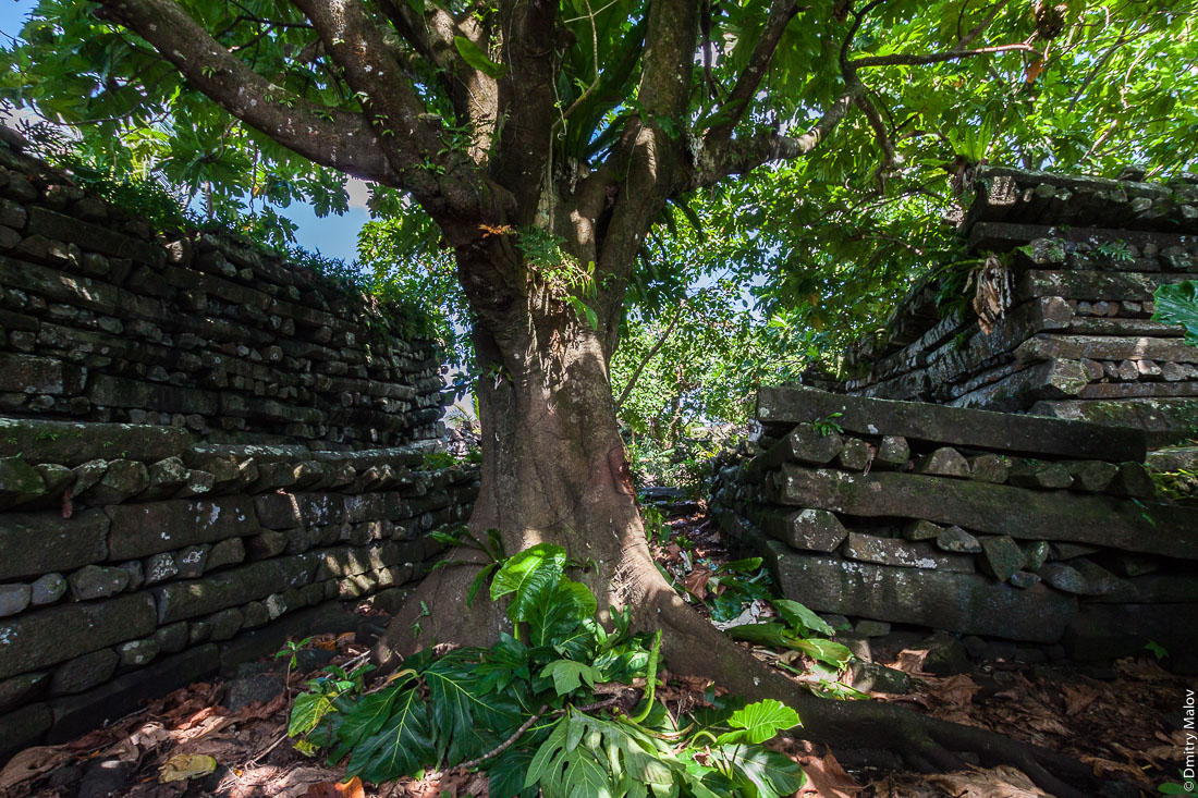Внутри Нан-Мадола: центральная часть Нан-Дувас. Стены, заросшие деревьями рвы, остров Понпеи, Микронезия, Океания. Inside Nan Madol central Nandauwas part: walls, and moat made of large basalt slabs, overgrown ruins in the jungle, Pohnpei, Micronesia, Oceania