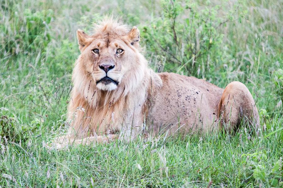 Lion as on Disney channel, Kenya, Africa. Лев, как на канале Дисней, Кения, Африка