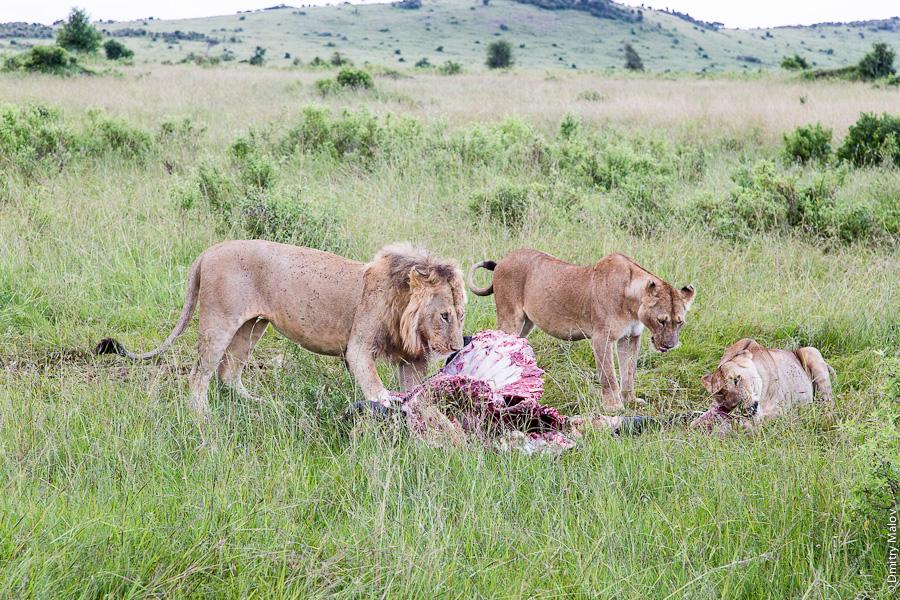 A pride of lions as on Discovery channel, finishing an antelope or a buffalo, Kenya, Africa. Львиный прайд, как на канале Дискавери, заканчивает жрать антилопу или буйвола, Кения, Africa