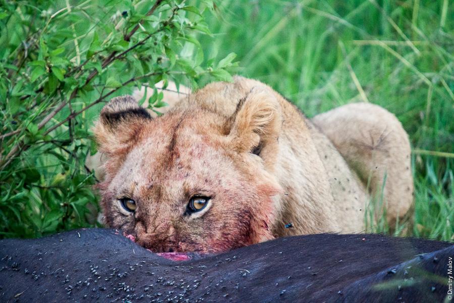 Львица пожирает буйвола, Кения. A lioness devouring a buffalo, Kenya.
