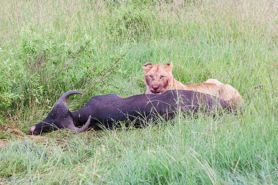 Львица убила буйвола, Кения, Африка. A lioness have killed a buffalo, Kenya, Africa.