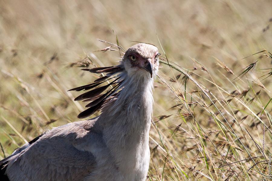 Птица-секретарь, Масаи-Мара, Кения, Африка. Secretary bird, Maasai Mara, Kenya, Africa