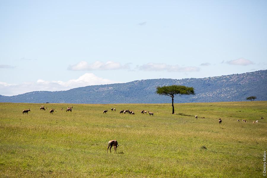 Масаи-Мара, Кения, Африка. Maasai Mara, Kenya, Africa