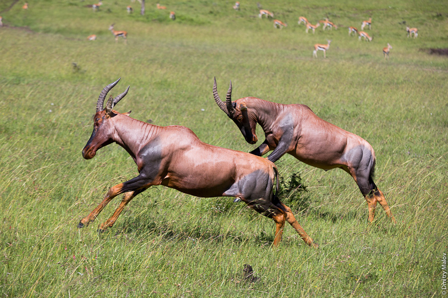 Бегущие и прыгающие антилопы, Масаи-Мара, Кения, Африка. Running and jumping antelopes, Maasai Mara, Kenya, Africa