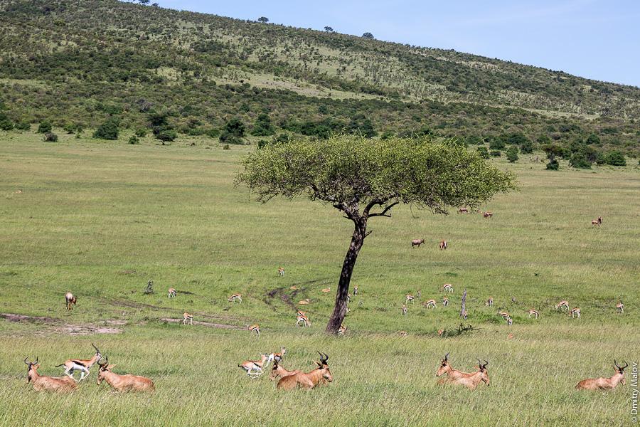 Стадо антилоп, Масаи-Мара, Кения, Африка. Antelopes, Maasai Mara, Kenya, Africa