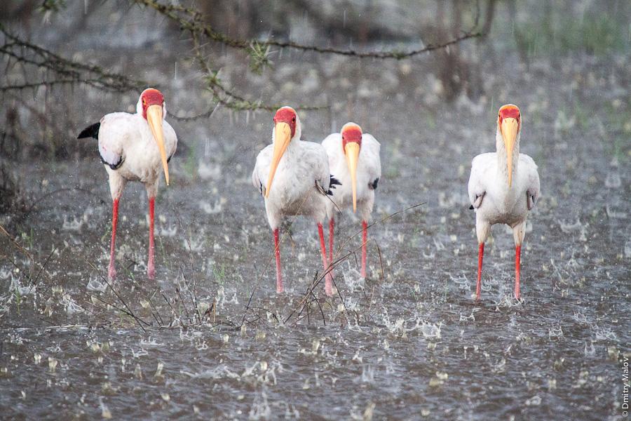 Озеро Накуру, Кения, Африка. Птицы под дождём. Lake Nakuru, Kenya, Africa. Birds under the rain.