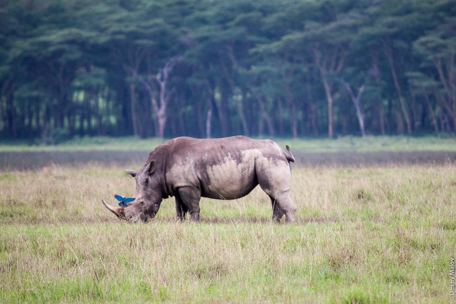 Озеро Накуру, Кения, Африка. Носорог. Lake Nakuru, Kenya, Africa. Rhinoceros, rhino