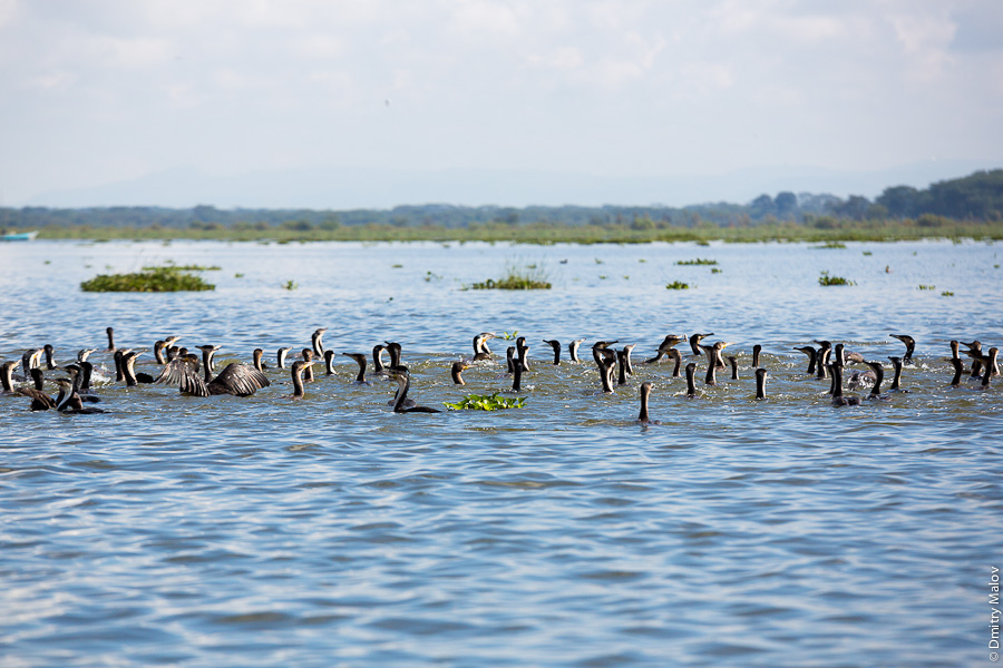 Озеро Наиваша, водоплавающие птицы. Lake Naivasha, waterfowl birds