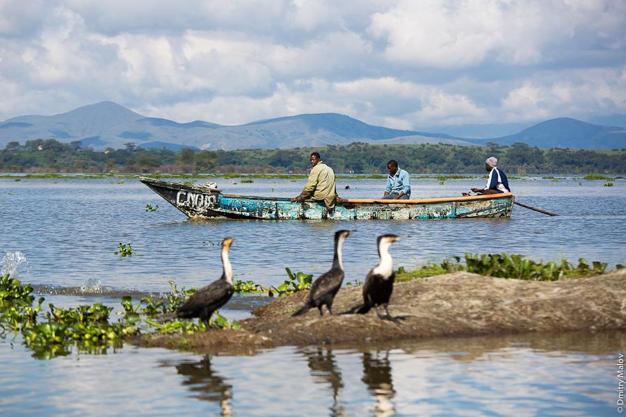 Озеро Наиваша, Кения, Африка: водоплавающие птицы и местные жители на лодке или каное. Lake Naivasha, Kenya, Africa: waterfowl birds and local native people on a boat or canoe