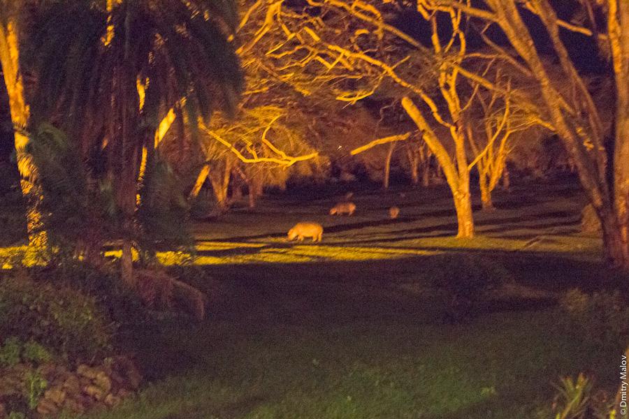 A typical tourist photo from a national park, a behemoth (riverhorse, hippopotamus, hippo, behemot), Kenya, Africa. Типичное туристическое фото из национального парка Кении, Африка: бегемот, гиппопотам