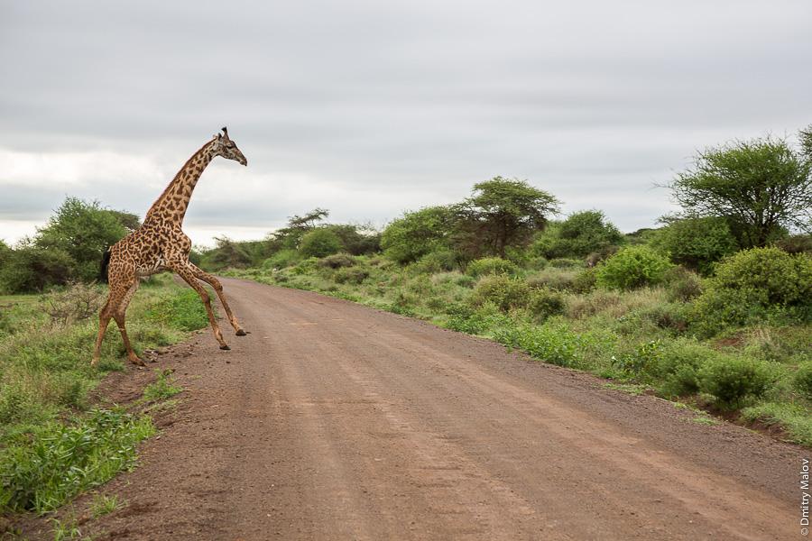 Жираф выскакивает и перебегает грунтовую дорогу, парк Амбосели, Кения, Африка. A giraffe and a dirt road, Amboseli park, Kenya, Africa.
