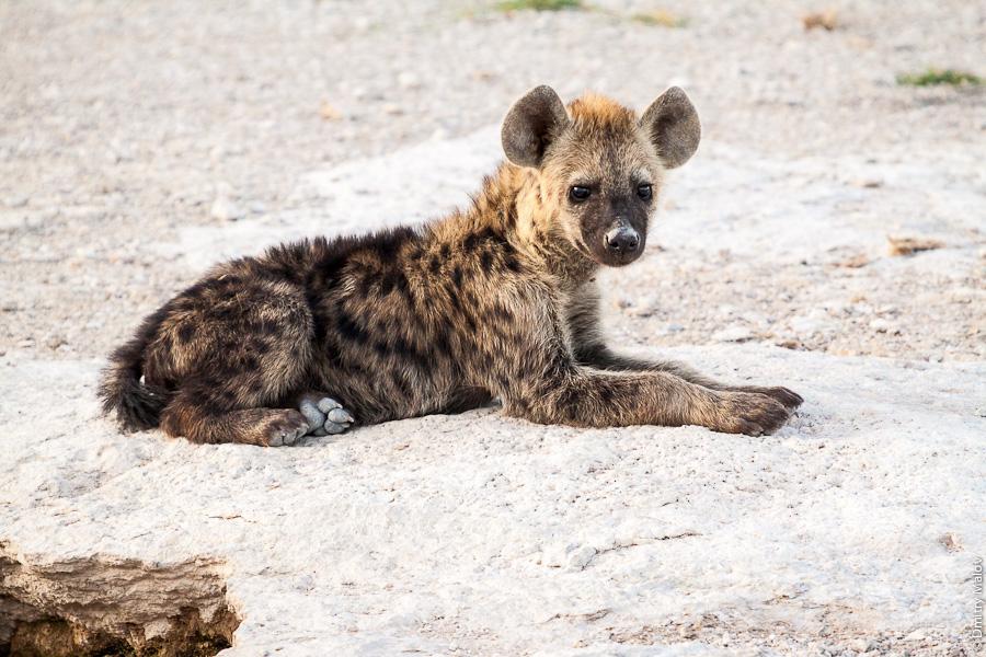 Маленкая гиена, щенок гиены, Амбосели, Кения, Африка. Small tiny hyena puppy, Amboseli, Kenya, Africa