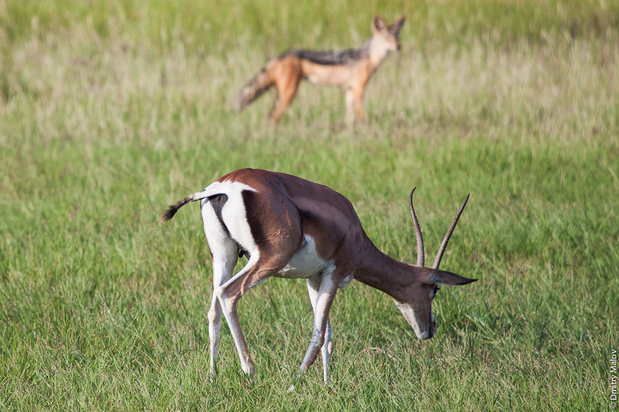 Антилопа и шакал, Амбосели, Кения, Африка. An antelope and a jackal, Amboseli, Kenya, Africa