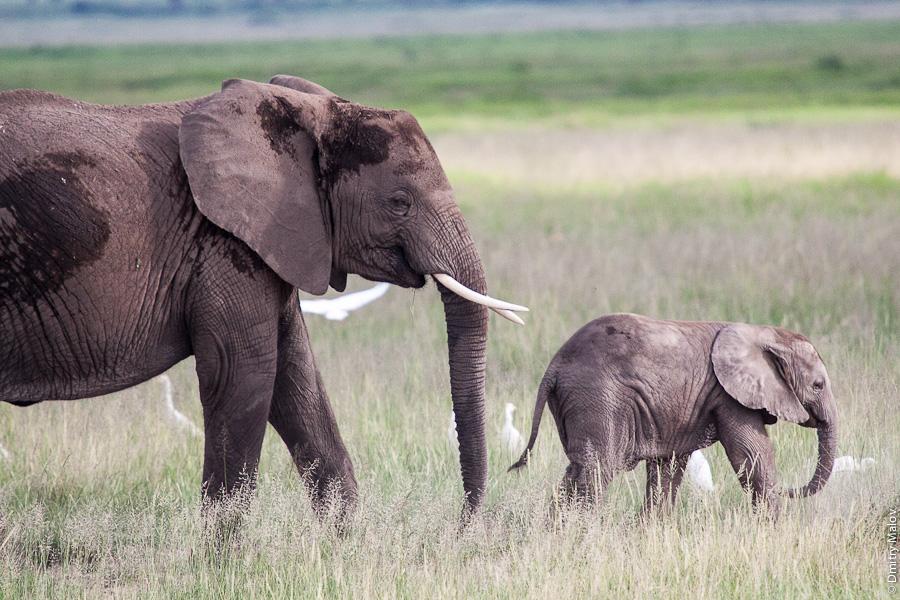 Слоны, Амбосели, Кения, Африка. Elephants, Amboseli, Kenya, Africa
