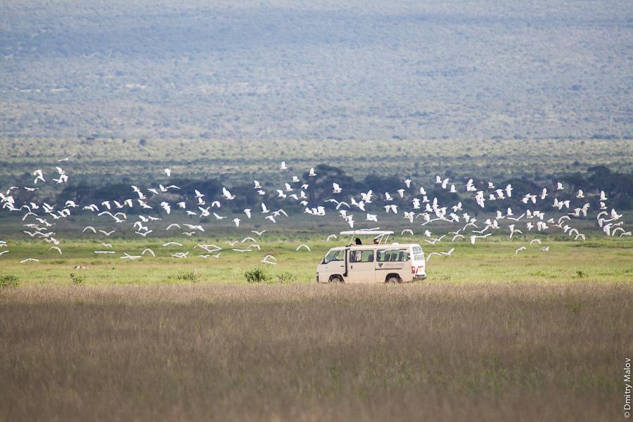 Typical safari in Kenya, Africa: birds watching. Типичное сафари в Кении, Африка: птицы.