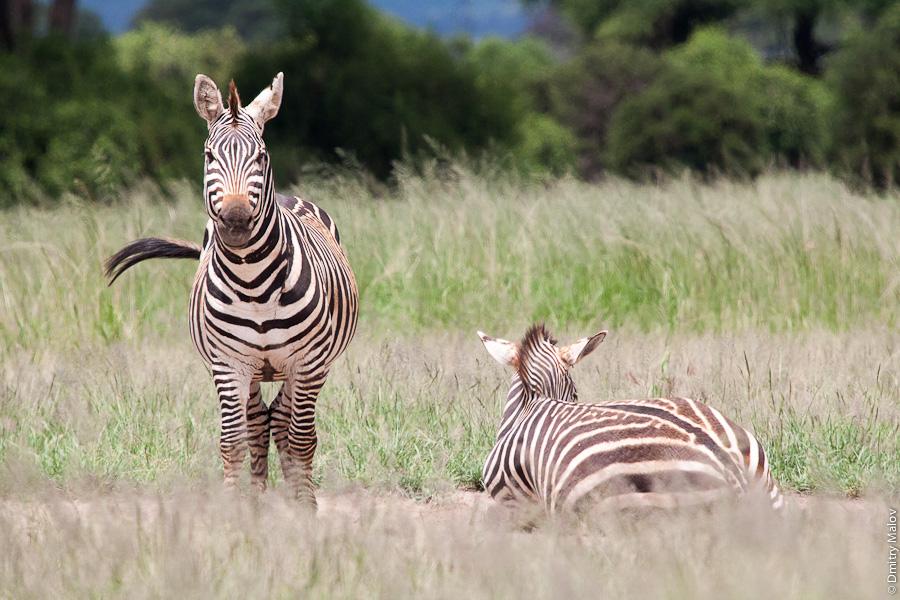 Зебра, Амбосели, Кения, Африка. Zebra, Amboseli, Kenya, Africa