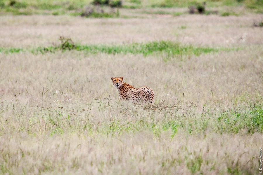 Гепард, Амбосели, Кения, Африка. Cheetah, Amboseli, Kenya, Africa