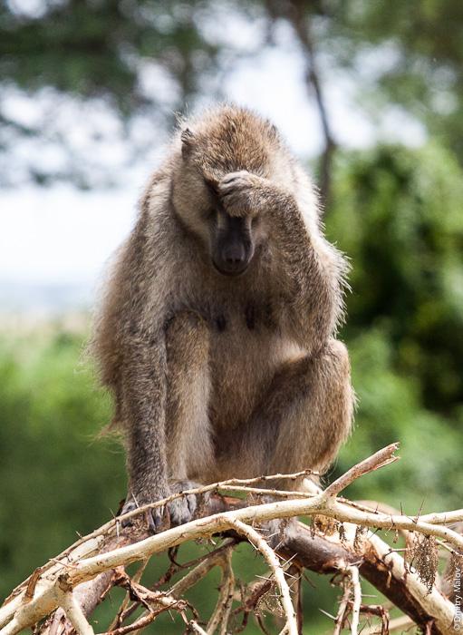 Обезьяна, Амбосели, Кения, Африка. Monkey, Amboseli, Kenya, Africa