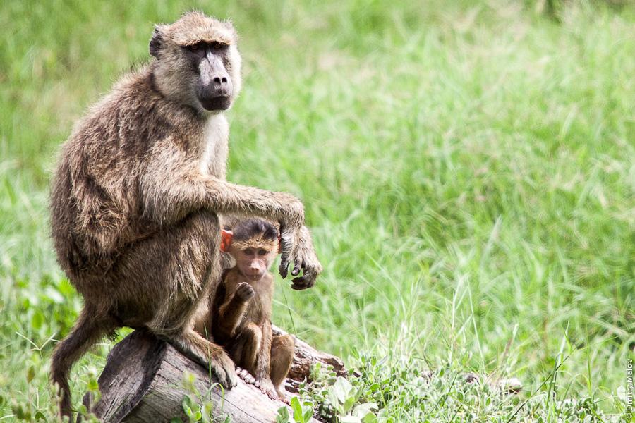 Обезьяны, Амбосели, Кения, Африка. Monkeys, Amboseli, Kenya, Africa