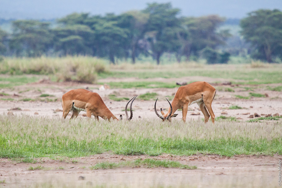 Антилопы, Амбосели, Кения, Африка. Antelopes, Amboseli, Kenya, Africa