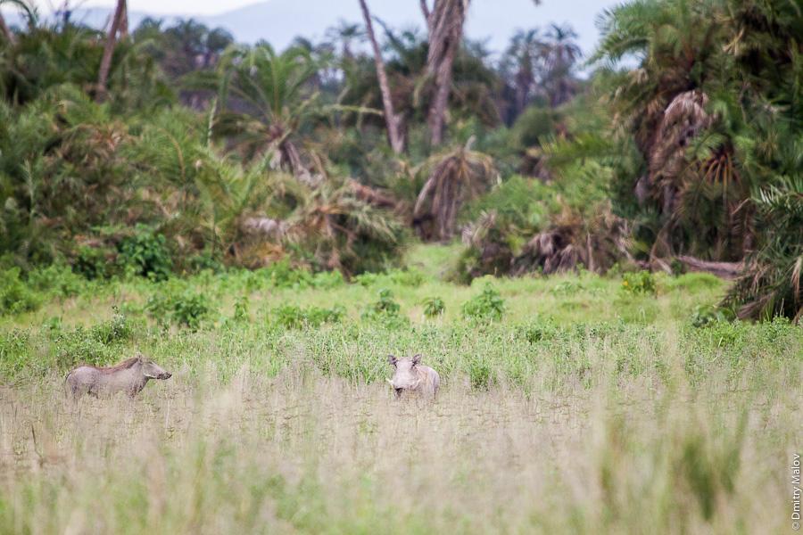 Свиньи Африканские бородавочники (как Пумба), Амбосели, Кения, Африка. Common warthog (Pumba), Amboseli, Kenya, Africa. Phacochoerus africanus