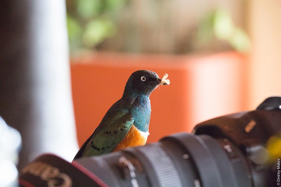 Птица и фотоаппарат с телевиком, Амбосели, Кения, Африка. A bird and a telephoto camera, Amboseli, Kenya, Africa