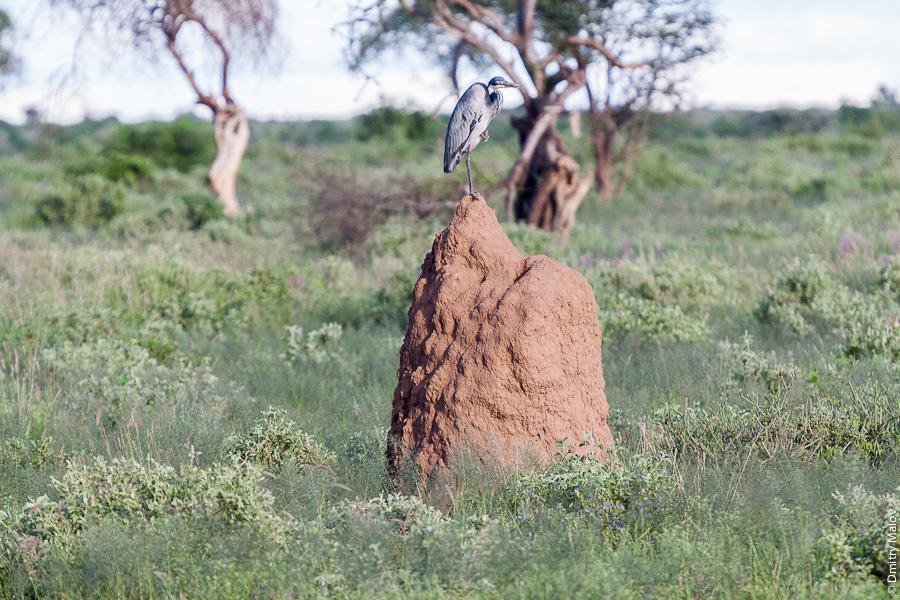 Птица верхом на термитнике, Амбосели, Кения, Африка. A bird on a termitary, Amboseli, Kenya, Africa