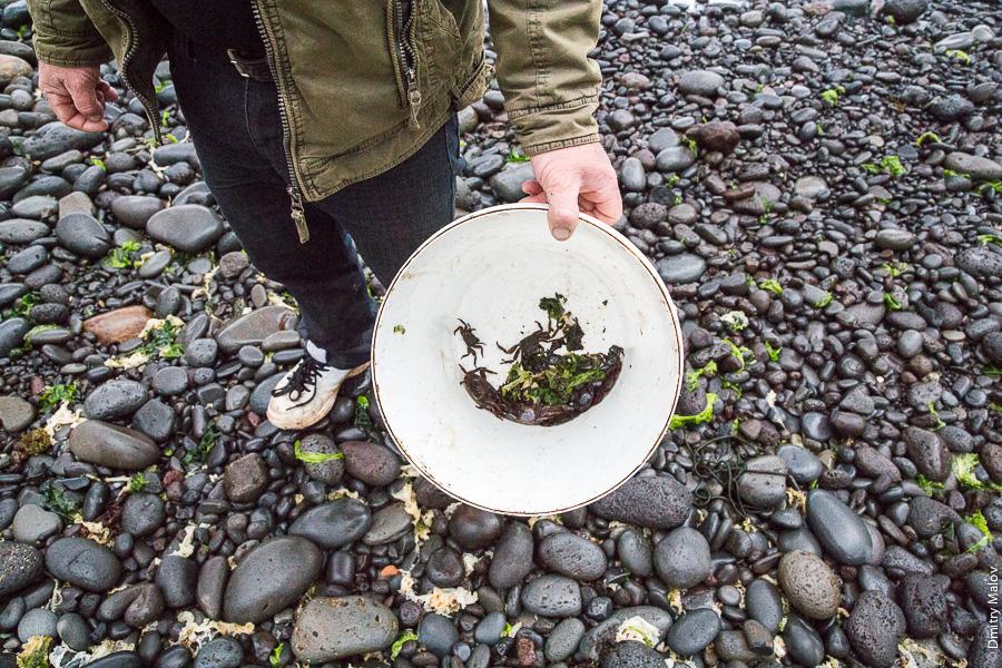 Местный житель собирает крабов, Остров Робинзона Крузо, архипелаг Хуан-Фернандес, Чили. A local collecting crabs, Robinson Crusoe Island (Más a Tierra), Juan Fernández Islands, Chile