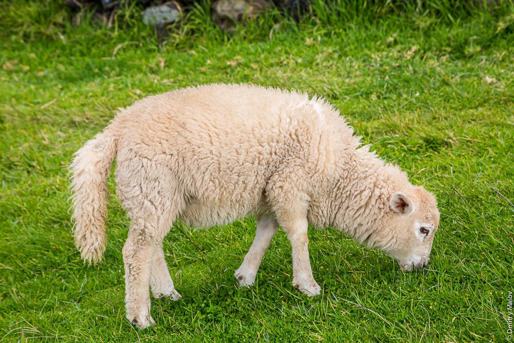 Длиннохвостая овца, овца с длинным хвостом, ягнёнок, остров Тристан-да-Кунья