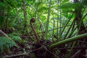 Папоротник на Раротонге, острова Кука. Rarotonga cross-island trek. Фото