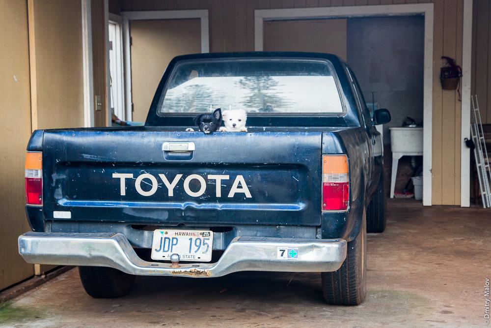 Hawaiian dog ('Ilio). Toyota JDP 195. Тойота, собачки, Гавайи.