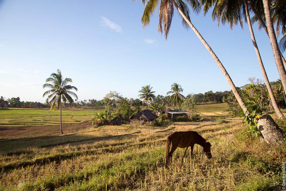 Восточный Тимор, природа, деревня, лошадь, пальма, поле. East Timor, Timor-Leste, countryside, horse, palm tree