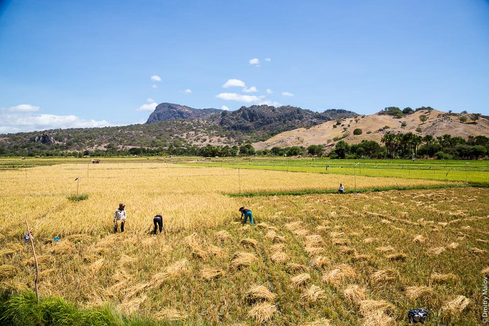 Восточный Тимор, выращивание риса, сбор риса. East Timor, Timor-Leste, rice farming, rice harvesting