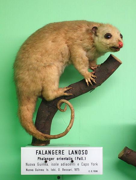 Falangere lanoso, Phalanger orientalis, Northern common cuscus, Пушистый кускус