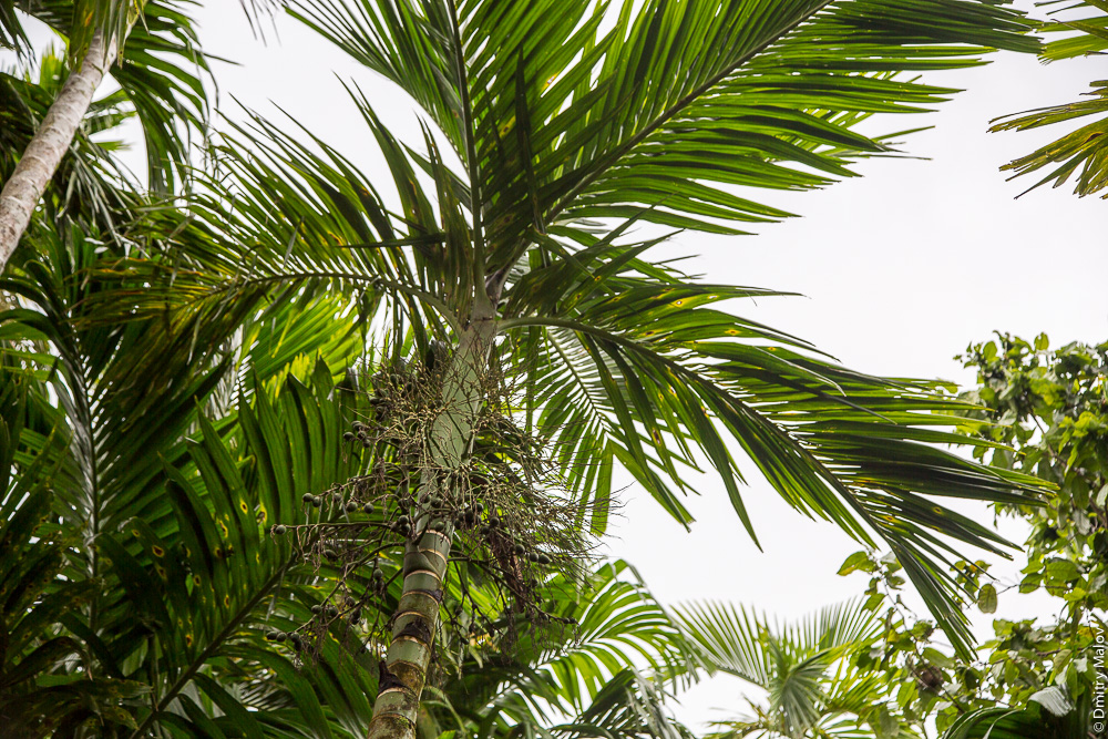 Орехи пальм арека катеху, источник ареколина