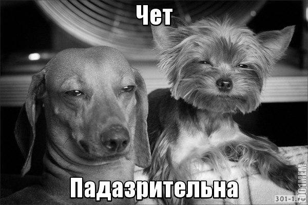"""Две собаки (йорик/йоркширский терьер и такса) такие """"Чёт падазрительно"""""""