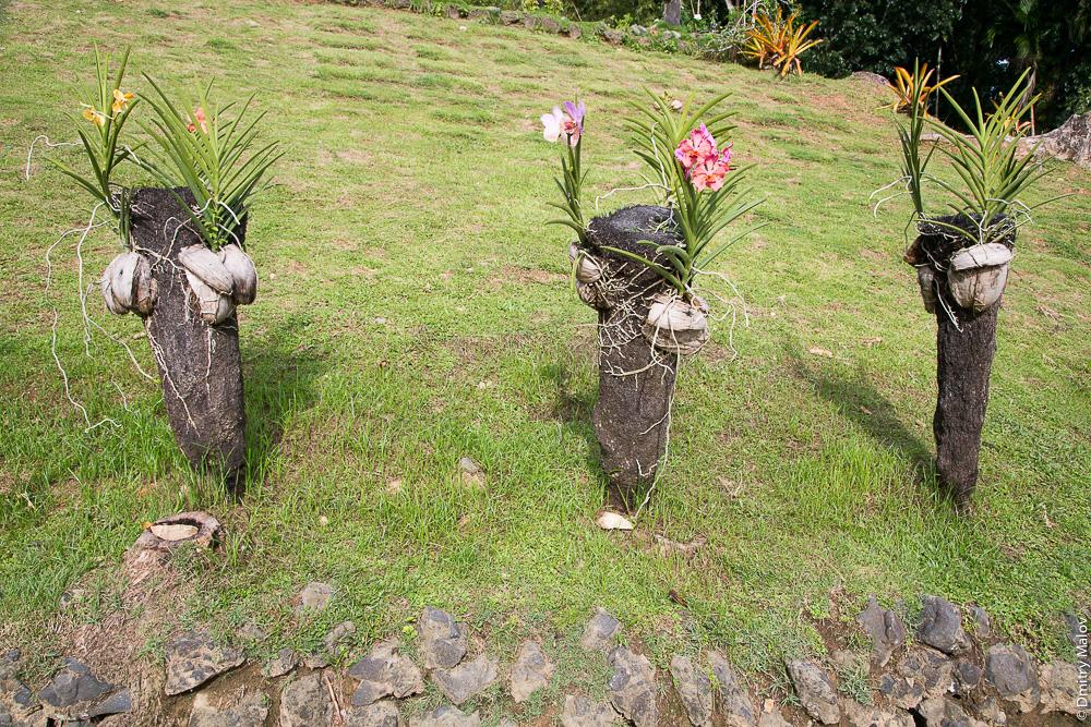 Цветник, орхидеи на обгоревших головёшках, Палау. A flower garden, orchids garden on burned wooden firebrand, Palau.