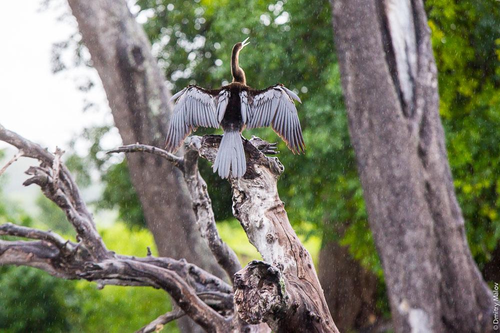 Darter, Anhinga or Snakebird (Snake Neck Bird) under rain. Chobe river cruise, Kasane, Botswana. Круиз по реке Чобе, Касане, Ботсвана. Птица Змеешейка (змеиная птица) под дождём