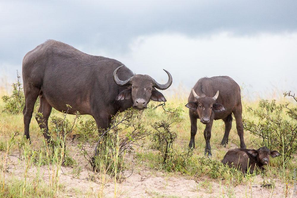 Buffalos, Chobe river cruise, Kasane, Botswana. Круиз по реке Чобе, Касане, Ботсвана, буйволы