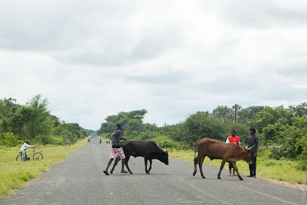 Cows on M10 road Zambia, Sesheke town - Livingstone, Barotseland, Africa. Коровы на трассе Сешеке-Ливингстон, Замбия, Баротселенд, Африка.