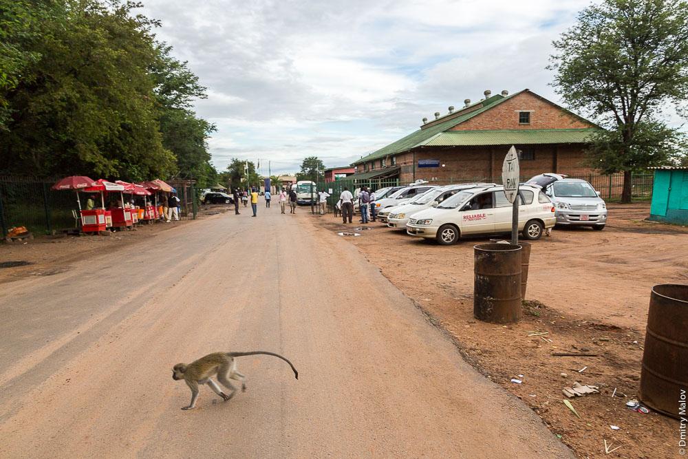 Monkey crossing the road. Victoria Falls Border Post, Zimbabwe side. Мартышка перебегает дорогу. Пограничный переход у моста через водопад Виктория, зимбабвийская сторона, Зимбабве
