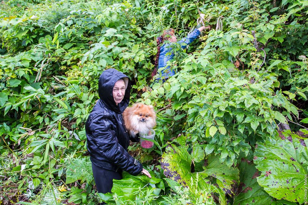 Бабушки и шпиц собирают малину, дачи у Холмска, Сахалин. Pomeranian dog and babushkas picking wild raspberries, dachas near Kholmsk, Sakhalin, Russia.