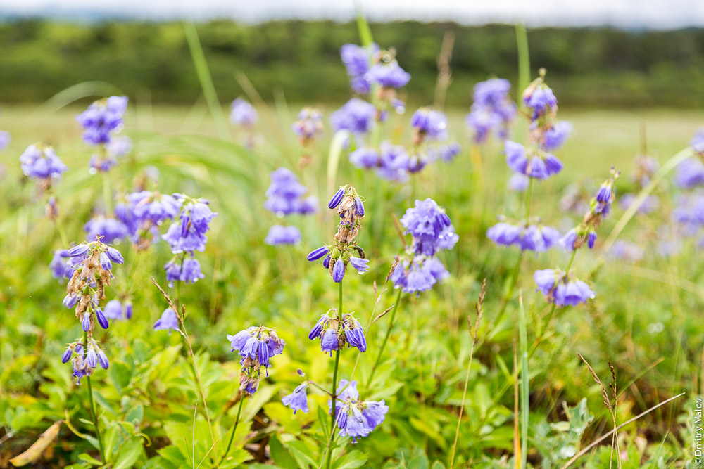 Фиолетовые колокольчики на дюнах на мысе Слепиковского, Сахалин. Purple bells flowers in the dunes at Cape Slepikovsky, Sakhalin, Russia