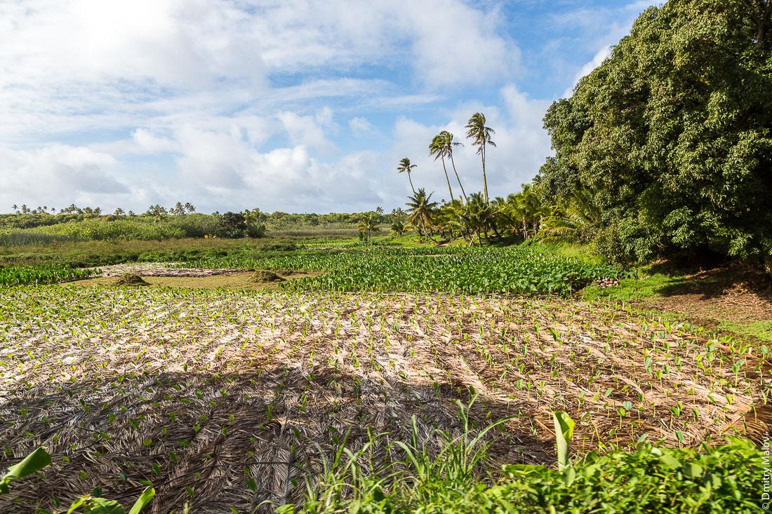 Плантации таро. Риматара, архипелаг Острал (Тубуаи), Французская Полинезия. Taro plantation, Rimatara, the Austral archipelago (Tubuai), French Polynesia.