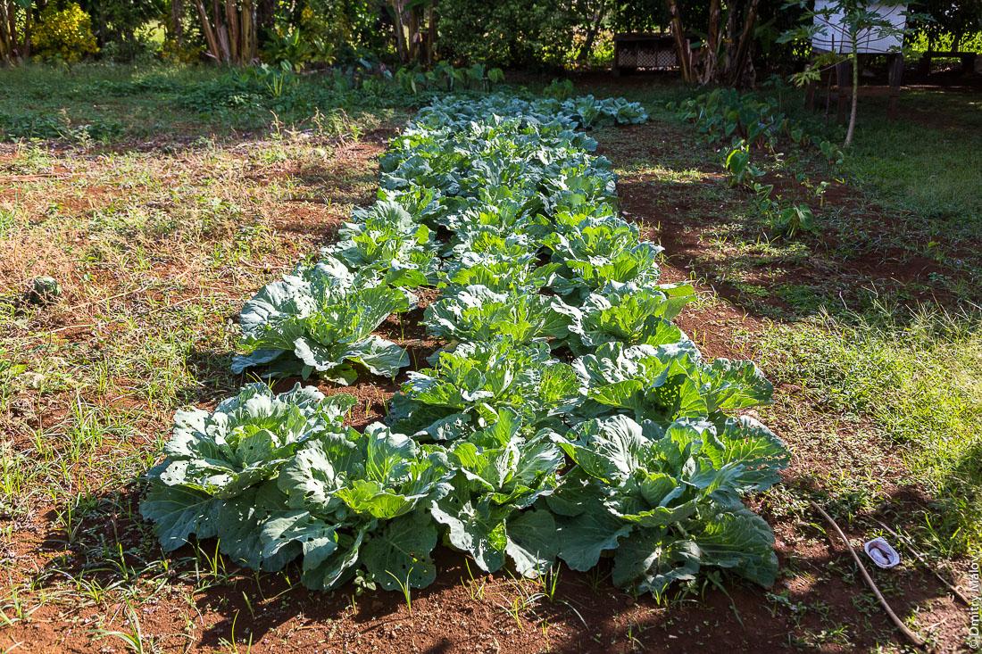 Капустная грядка. Растёт капуста. Риматара, архипелаг Острал (Тубуаи), Французская Полинезия. Rimatara, the Austral archipelago (Tubuai), French Polynesia. How cabbage grows in Polynesia
