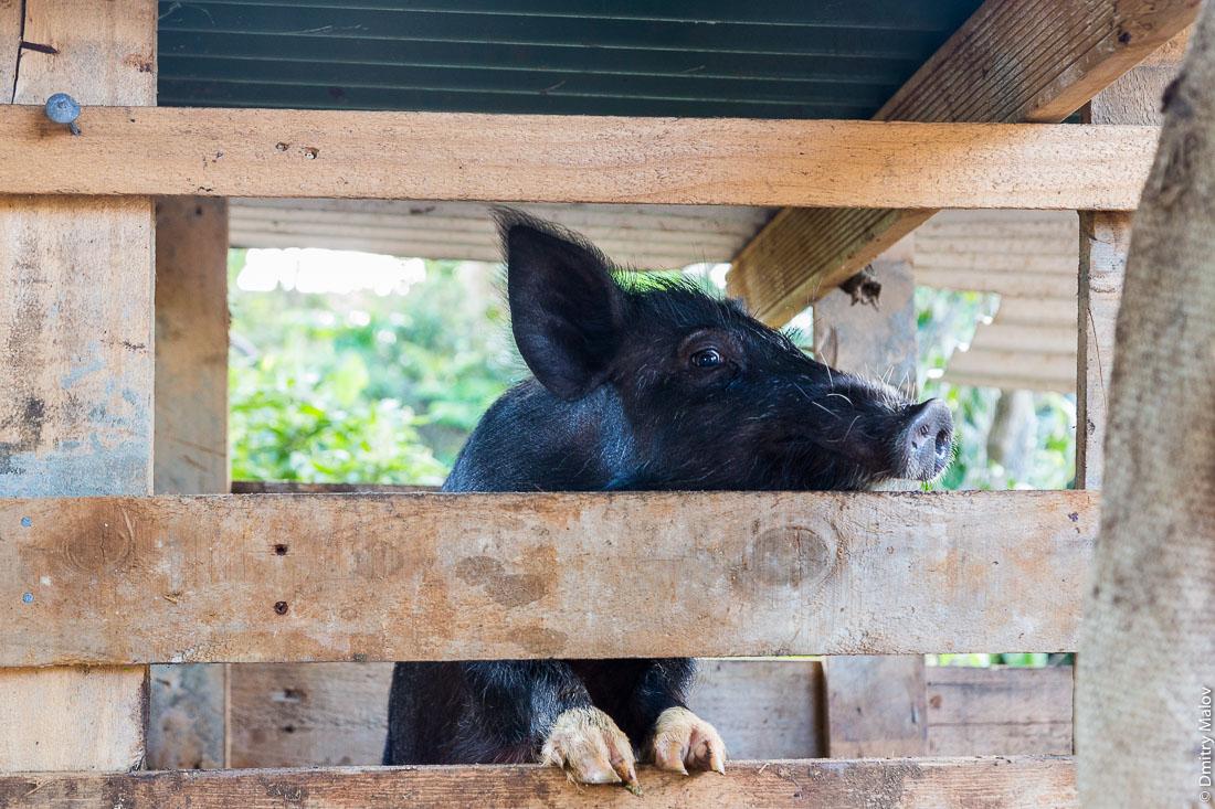 Свинья. Риматара, архипелаг Острал (Тубуаи), Французская Полинезия. Rimatara, the Austral archipelago (Tubuai), French Polynesia. A Polynesian pig