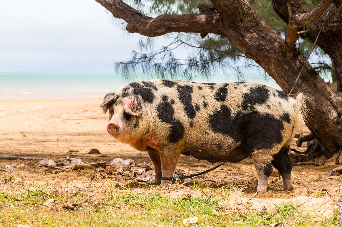 Полинезийская свинья, на привязи за ногу. Вокруг острова Тубуаи, архипелаг Острал, Французская Полинезия. Polynesian tethered pig, Tubuai island, the Austral islands, French Polynesia.