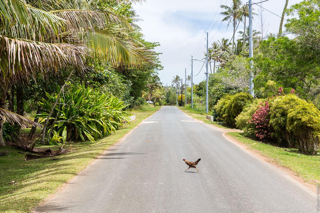 Полинезийская курица перебегает шоссе. Вокруг острова Тубуаи, архипелаг Острал, Французская Полинезия. Polynesian chicken runs across the road, Tubuai island, the Austral islands, French Polynesia.